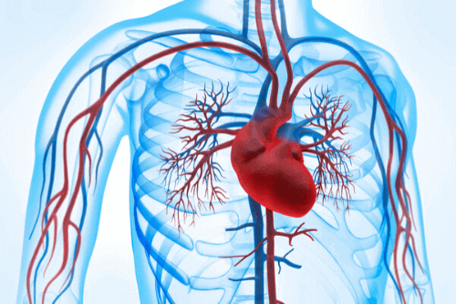 configuração anatômica do sistema circulatório humano